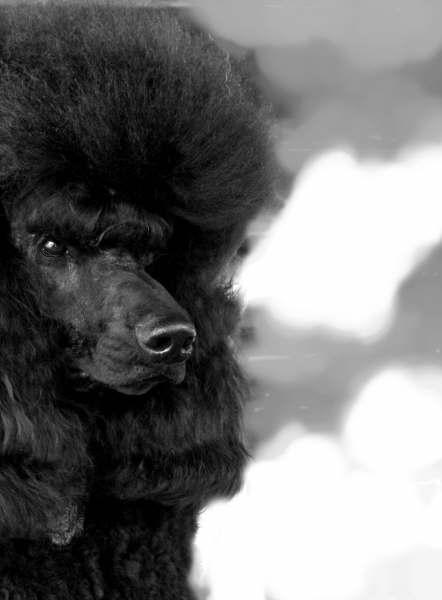 GulfBreeze Standard Poodles
